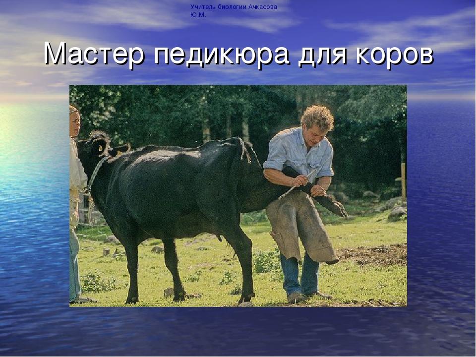 Мастер педикюра для коров Учитель биологии Ачкасова Ю.М.