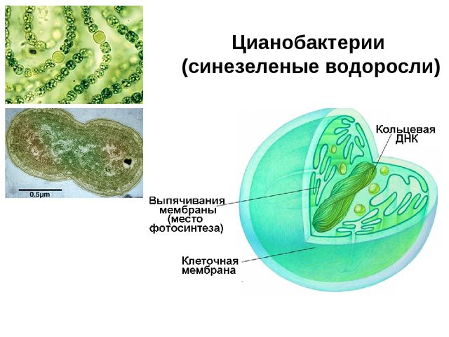Цианобактерии (синезеленые водоросли)
