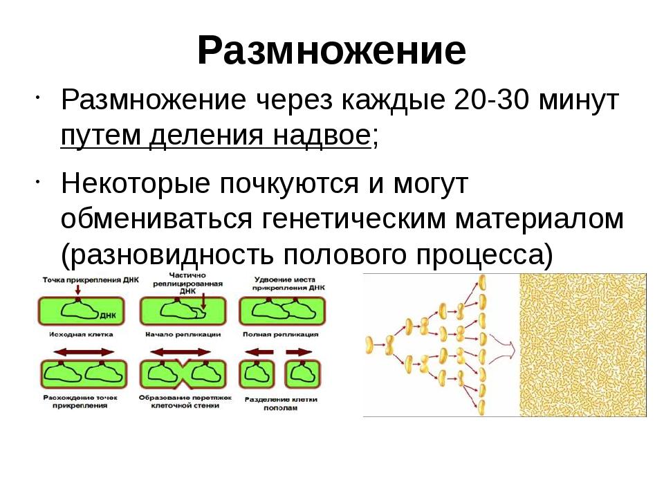 Размножение Размножение через каждые 20-30 минут путем деления надвое; Некото...