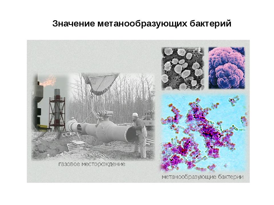 Значение метанообразующих бактерий