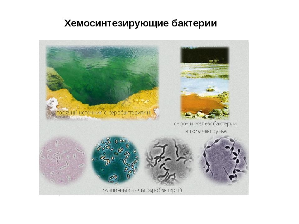 Хемосинтезирующие бактерии