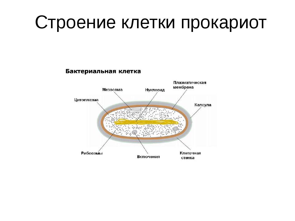 Строение клетки прокариот
