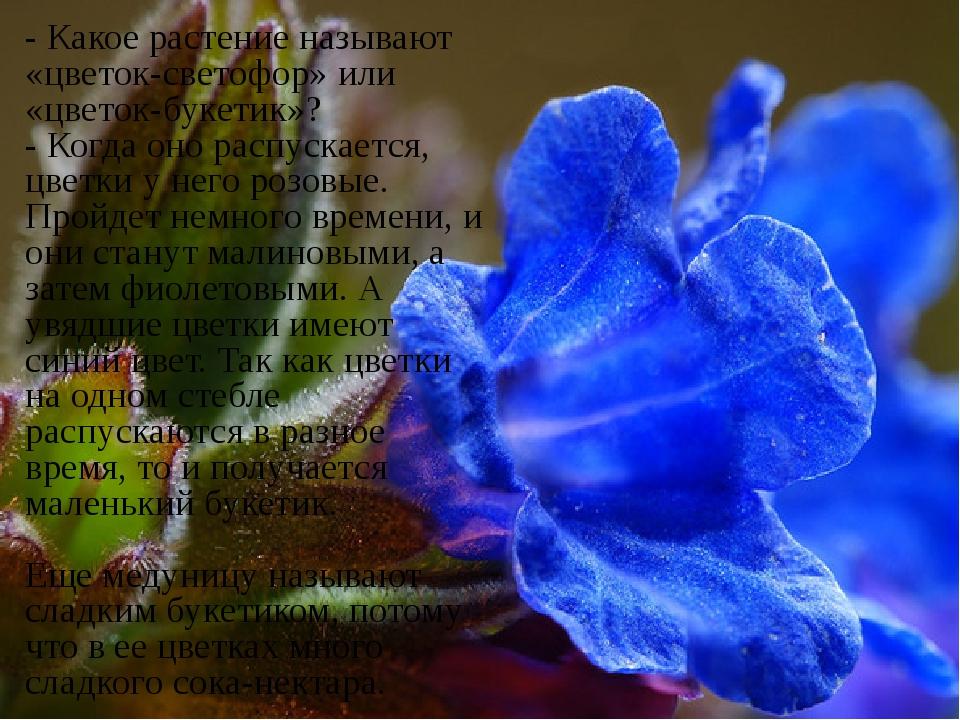 - Какое растение называют «цветок-светофор» или «цветок-букетик»? - Когда он...
