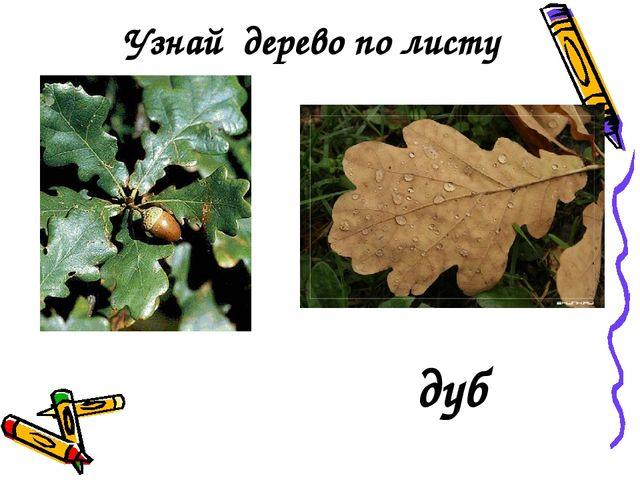 Узнай дерево по листу дуб