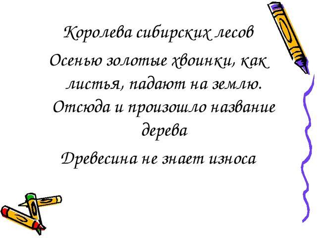 Королева сибирских лесов Осенью золотые хвоинки, как листья, падают на землю....