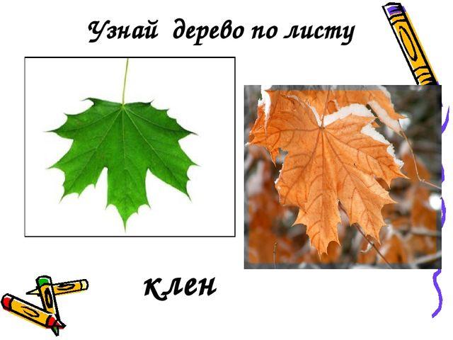 Узнай дерево по листу клен