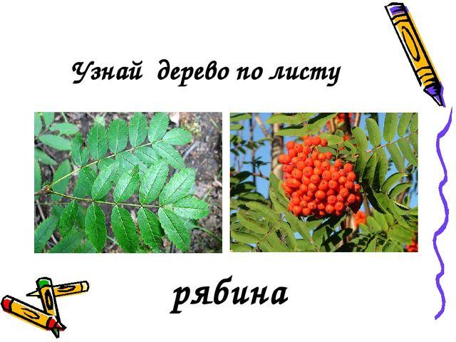 Узнай дерево по листу рябина