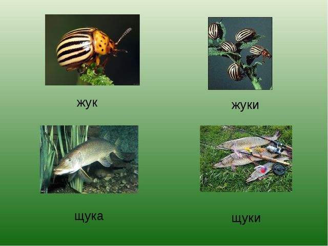 жук жуки щука щуки