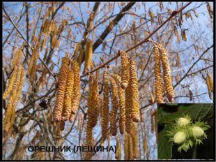 ОРЕШНИК (ЛЕЩИНА)