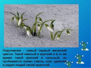 Подснежник - самый первый весенний цветок. Такой нежный и хрупкий и в то же в