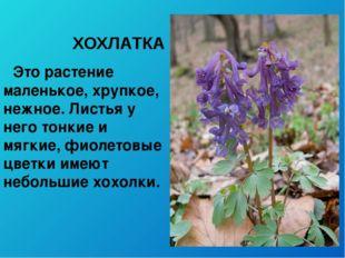 ХОХЛАТКА Это растение маленькое, хрупкое, нежное. Листья у него тонкие и мягк