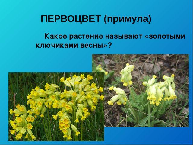 ПЕРВОЦВЕТ (примула) Какое растение называют «золотыми ключиками весны»?