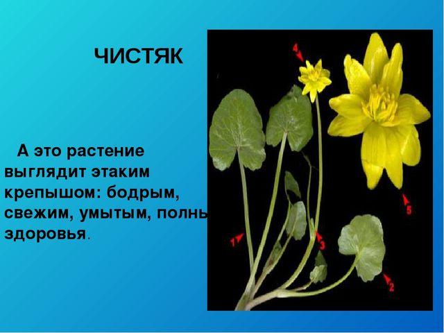 ЧИСТЯК А это растение выглядит этаким крепышом: бодрым, свежим, умытым, полны...