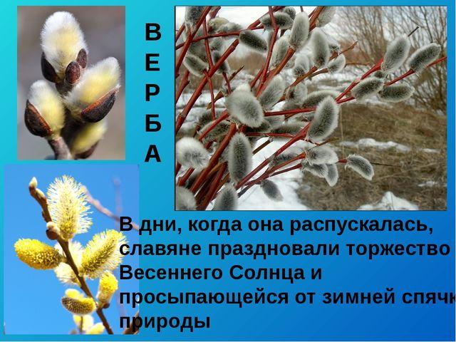 В дни, когда она распускалась, славяне праздновали торжество Весеннего Солнца...