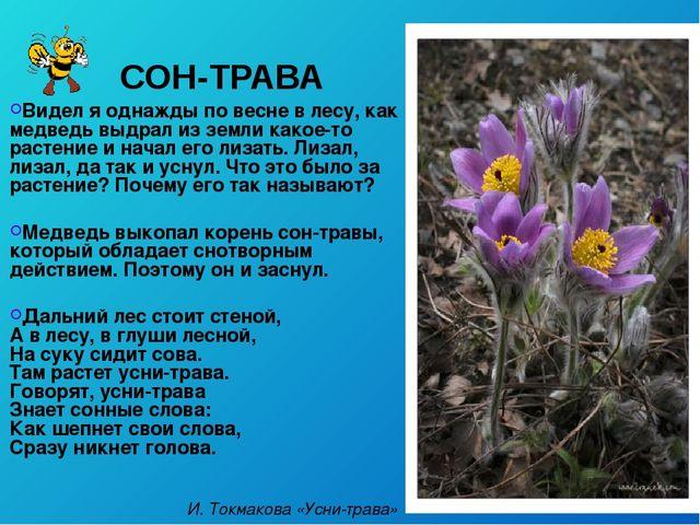СОН-ТРАВА Видел я однажды по весне в лесу, как медведь выдрал из земли какое-...
