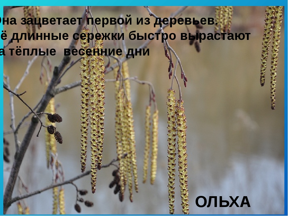 ОЛЬХА Она зацветает первой из деревьев. Её длинные сережки быстро вырастают з...