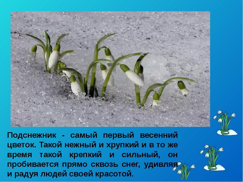 Подснежник - самый первый весенний цветок. Такой нежный и хрупкий и в то же в...