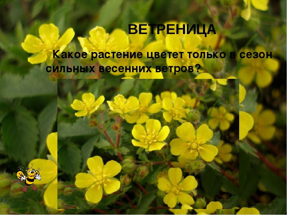 ВЕТРЕНИЦА Какое растение цветет только в сезон сильных весенних ветров?