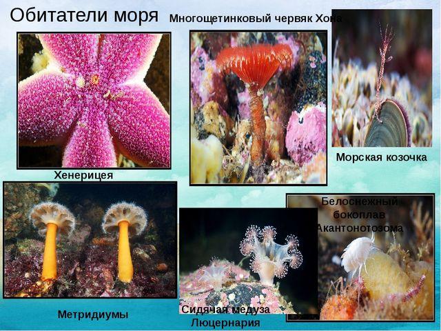 Обитатели моря Морская козочка Многощетинковый червяк Хона Хенерицея Белосне...