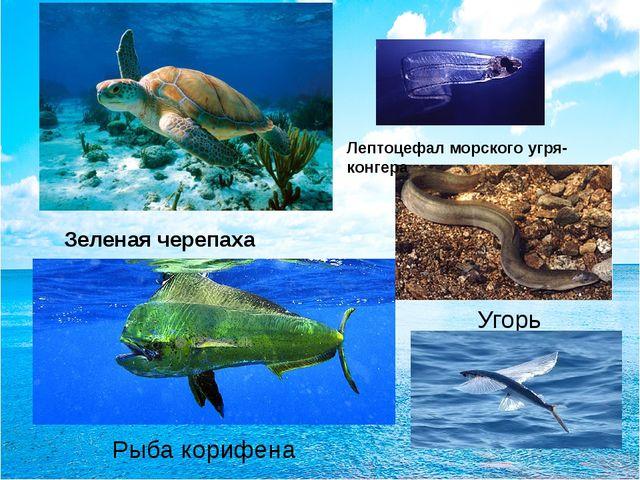 Угорь Лептоцефал морского угря-конгера Зеленая черепаха Рыба корифена