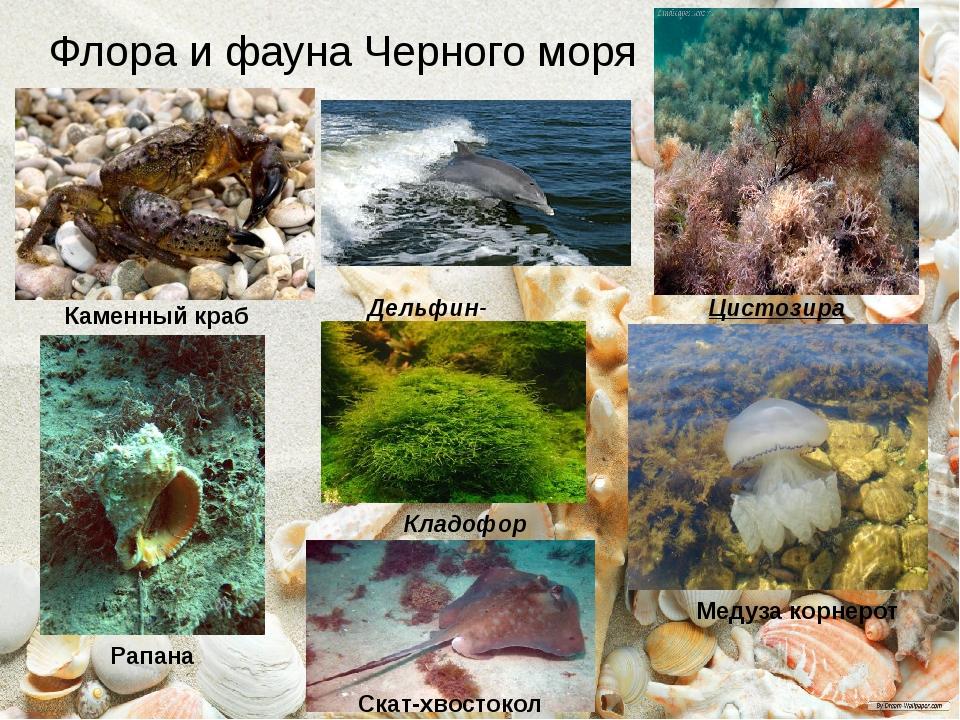 Флора и фауна Черного моря Дельфин-афалина Кладофора Цистозира Медуза корнеро...