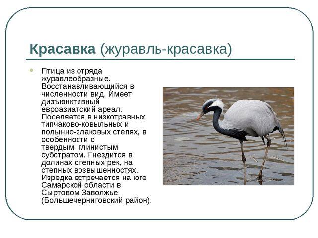 Красавка(журавль-красавка) Птица из отряда журавлеобразные. Восстанавливающи...