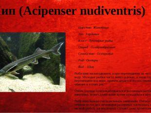 Шип (Acipenser nudiventris) Царство: Животные Тип: Хордовые Класс: Лучепёрые