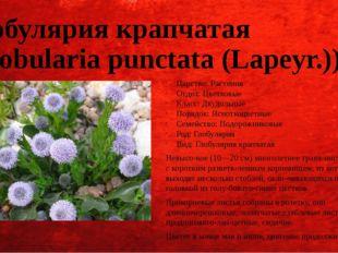 Глобулярия крапчатая (Globularia punctata (Lapeyr.)) Царство: Растения Отдел: