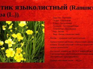 Лютик языколистный (Ranunculus lingua (L.)) Царство: Растения Отдел: Цветковы