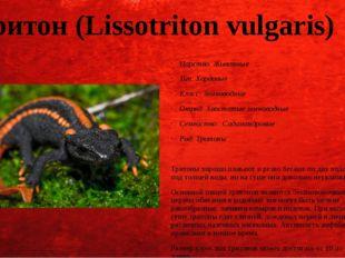 Тритон (Lissotriton vulgaris) Царство: Животные Тип: Хордовые Класс: Земновод