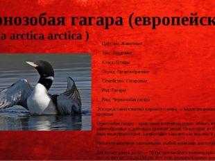 Чернозобая гагара (европейская) (Gavia arctica arctica ) Царство: Животные Ти