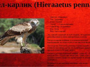 Орёл-карлик (Hieraaetus pennatus) Царство: Животные Тип: Хордовые Класс: Птиц