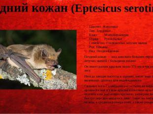 Поздний кожан (Eptesicus serotinus) Царство: Животные Тип: Хордовые Класс:Мл