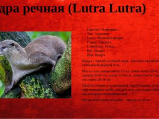 Выдра речная (Lutra Lutra) Царство: Животные Тип: Хордовые Класс: Млекопитающ