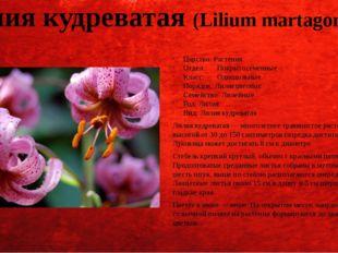 Лилия кудреватая (Lilium martagon (L.)) Царство: Растения Отдел:Покрытосемен
