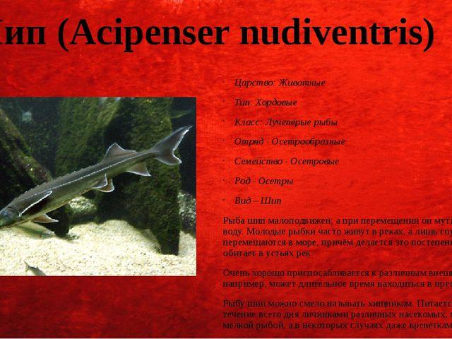 Шип (Acipenser nudiventris) Царство: Животные Тип: Хордовые Класс: Лучепёрые...