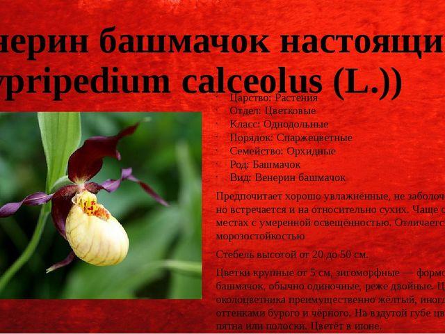 Венерин башмачок настоящий (Cypripedium calceolus (L.)) Царство: Растения Отд...