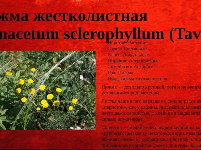 Пижма жестколистная (Tanacetum sclerophyllum (Tavel.)) Царство: Растения Отде...