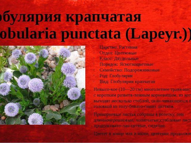 Глобулярия крапчатая (Globularia punctata (Lapeyr.)) Царство: Растения Отдел:...