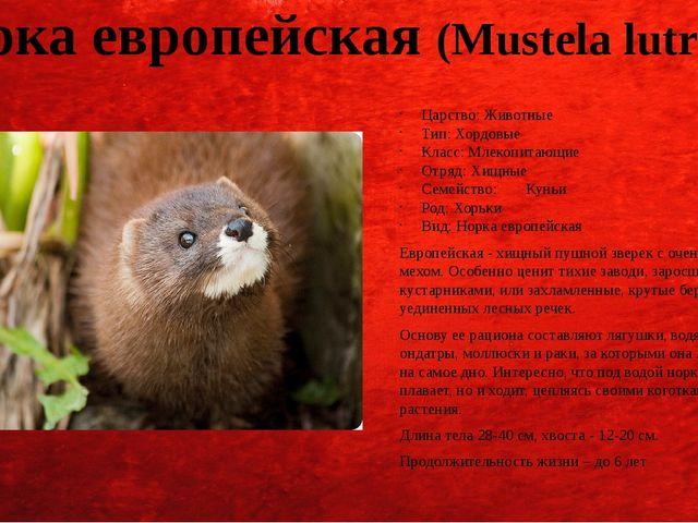 Норка европейская (Mustela lutreola) Царство: Животные Тип: Хордовые Класс: М...