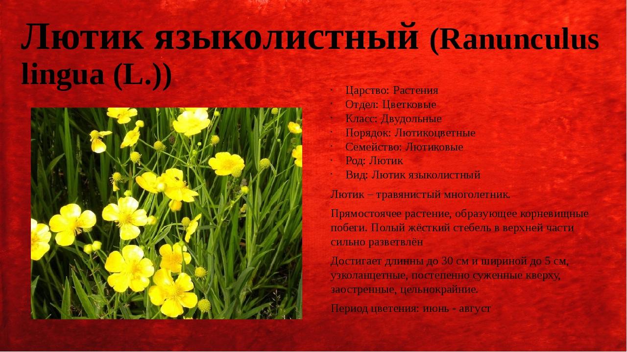 Лютик языколистный (Ranunculus lingua (L.)) Царство: Растения Отдел: Цветковы...