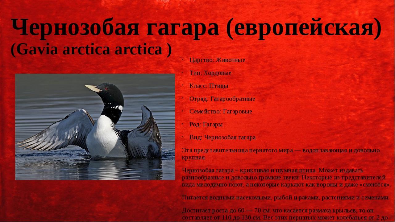 Чернозобая гагара (европейская) (Gavia arctica arctica ) Царство: Животные Ти...