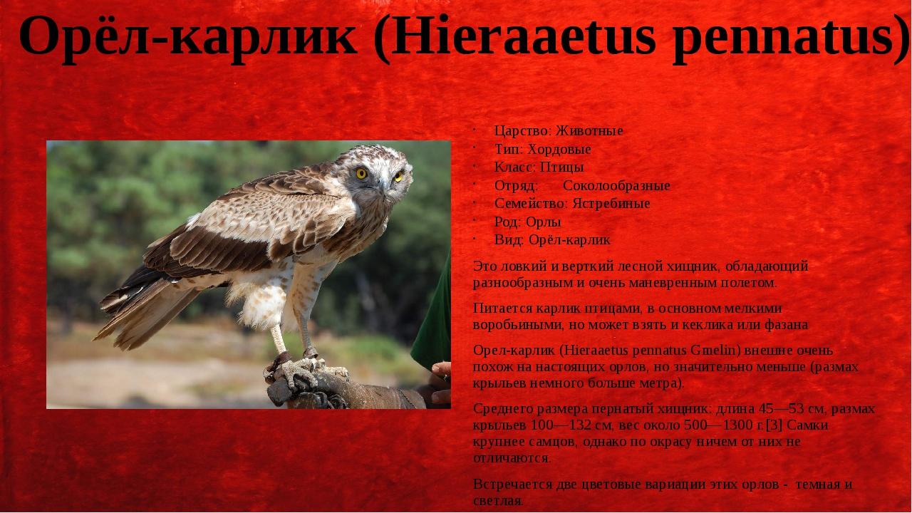 Орёл-карлик (Hieraaetus pennatus) Царство: Животные Тип: Хордовые Класс: Птиц...