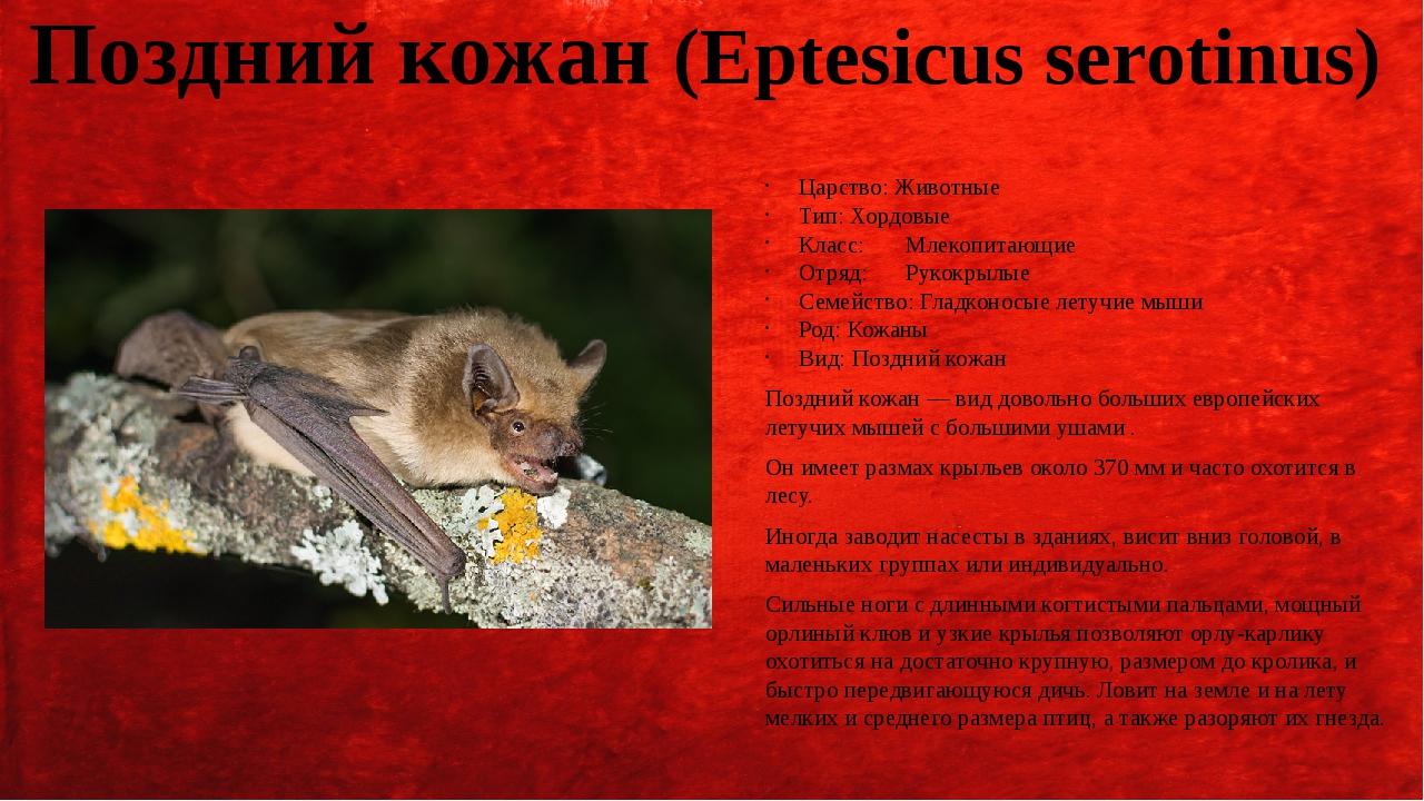 Поздний кожан (Eptesicus serotinus) Царство: Животные Тип: Хордовые Класс:Мл...