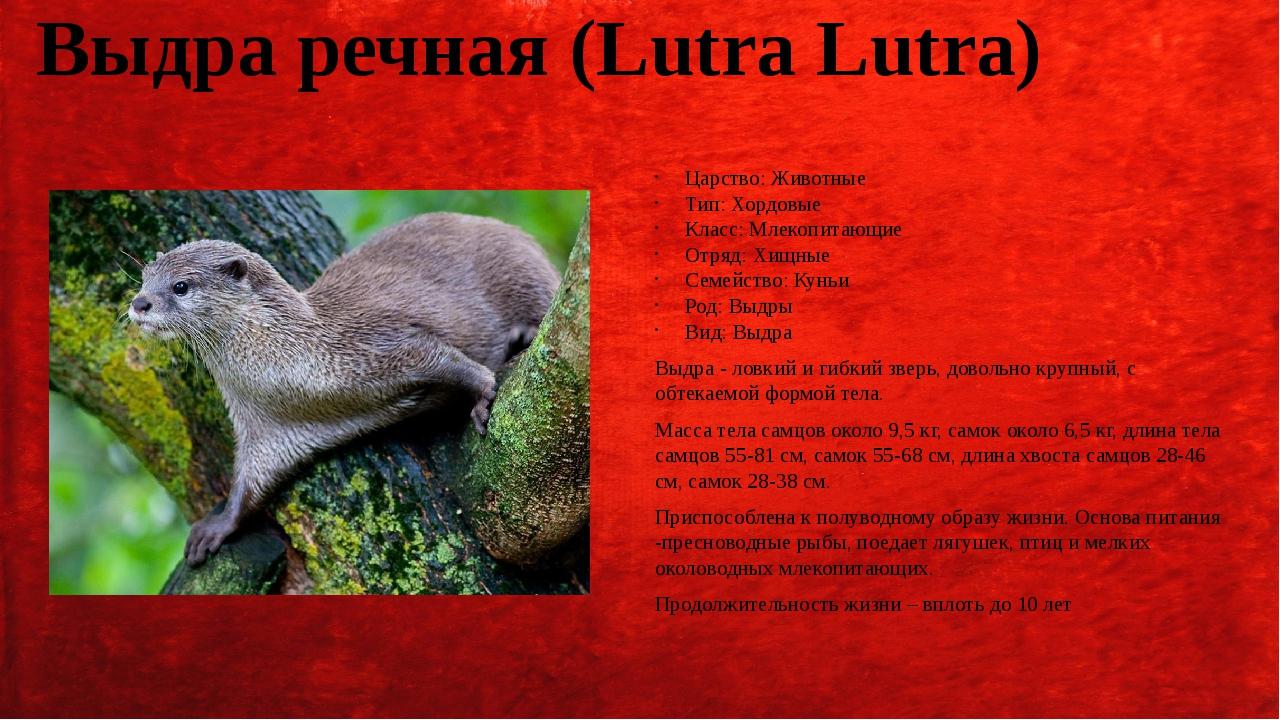 Выдра речная (Lutra Lutra) Царство: Животные Тип: Хордовые Класс: Млекопитающ...