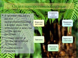 Отдел папоротникообразные В тропических лесах растут папоротникообразные в фо