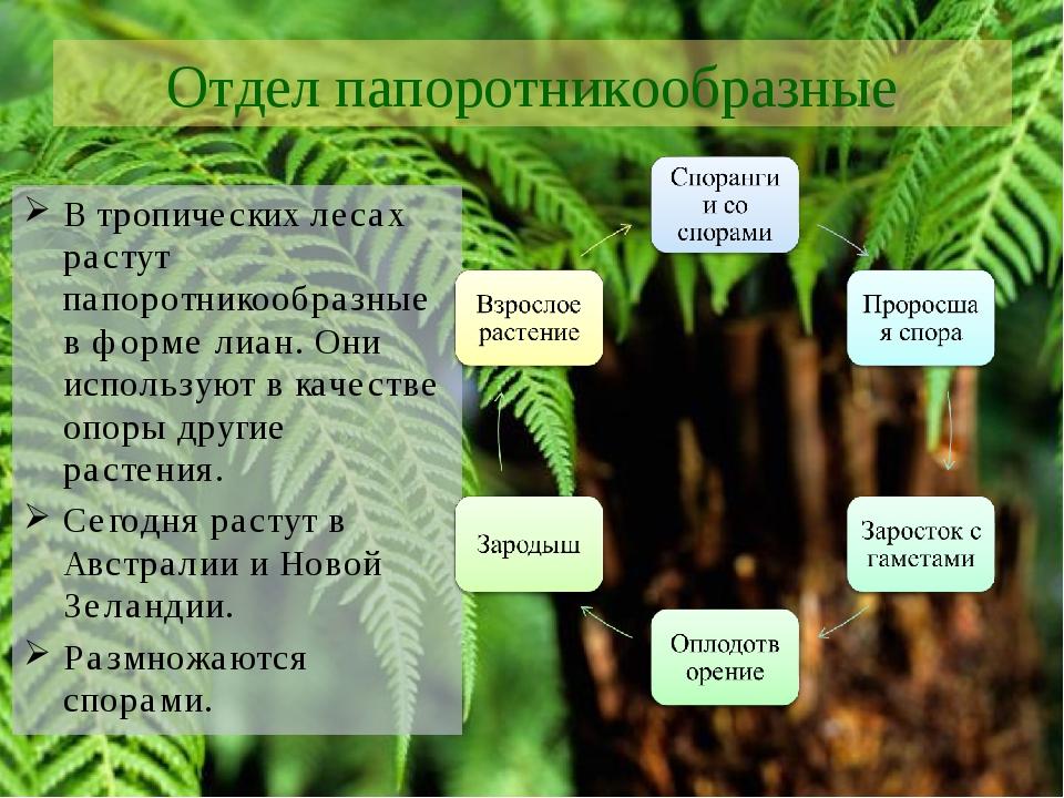 Отдел папоротникообразные В тропических лесах растут папоротникообразные в фо...