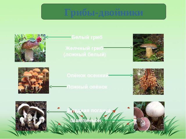 Грибы-двойники Белый гриб Желчный гриб (ложный белый) Опёнок осенний Ложный о...