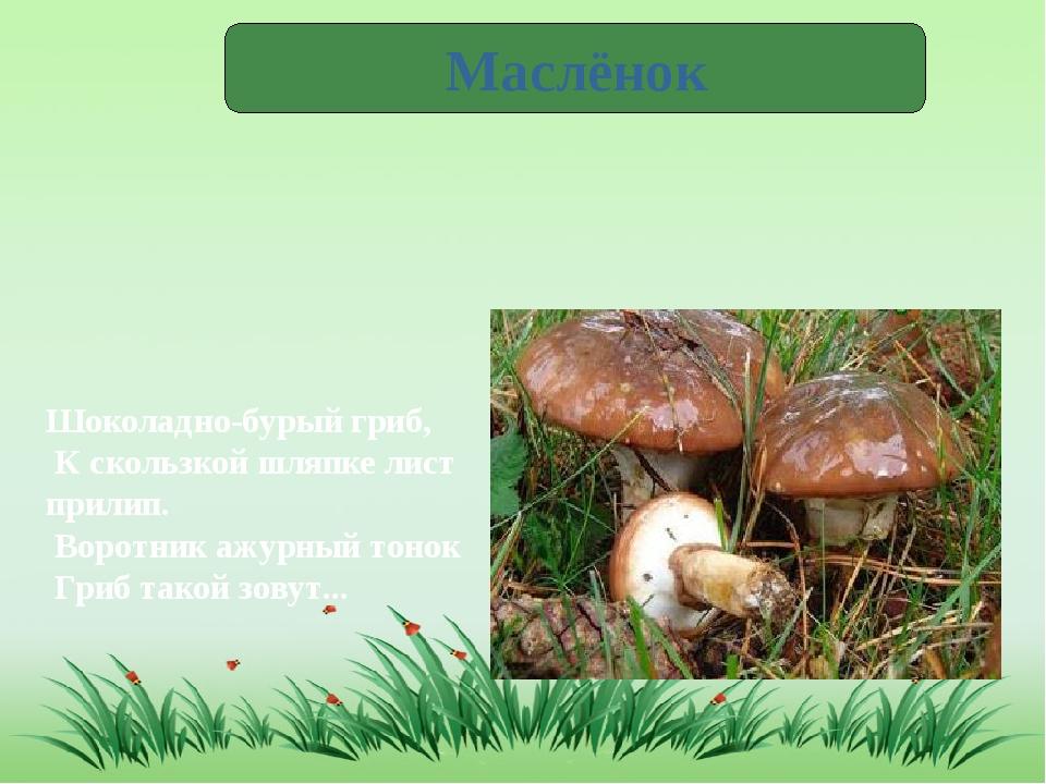 Маслёнок Шоколадно-бурый гриб, К скользкой шляпке лист прилип. Воротник а...