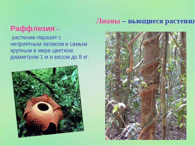 Раффлезия – растение-паразит с неприятным запахом и самым крупным в мире цвет...
